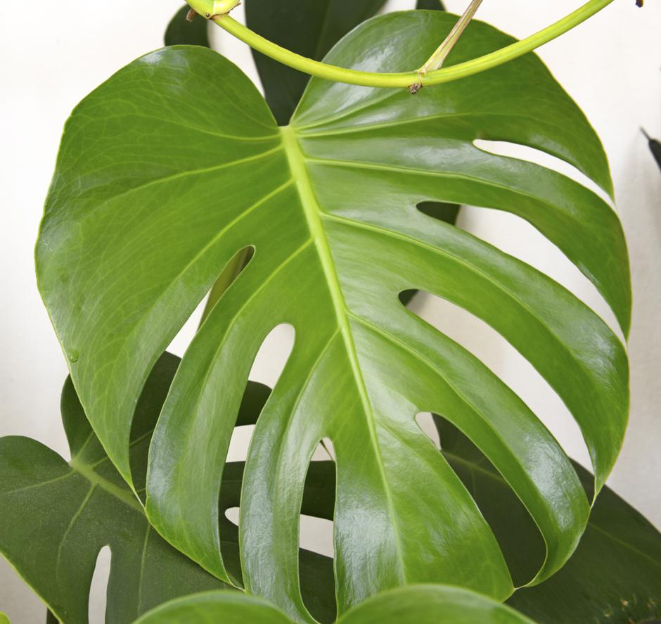 Monstera | Autor : Thinkstock